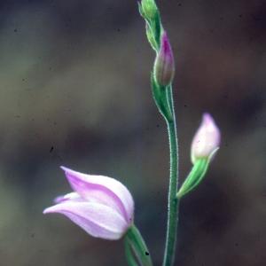 Photographie n°2346481 du taxon Cephalanthera rubra (L.) Rich. [1817]