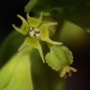 Photographie n°2346508 du taxon Euphorbia peplus L. [1753]