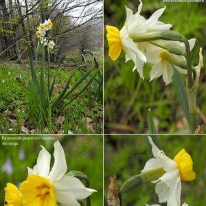 - Narcissus tazetta L. [1753]