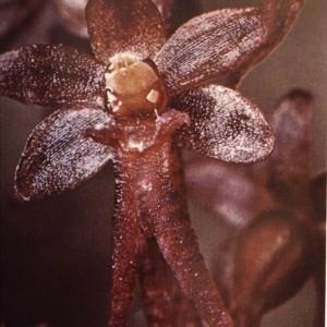 Photographie n°2346875 du taxon Listera cordata (L.) R.Br. [1813]