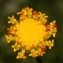 Santolina rosmarinifolia subsp. pectinata (Lag.) Maire [nn139085] par Errol Vela le 25/06/2011 - Bouira