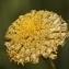 Santolina rosmarinifolia subsp. pectinata (Lag.) Maire [nn139085] par Errol Vela le 25/06/2011 - Saharidj