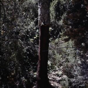 Photographie n°2347156 du taxon Quercus suber L. [1753]