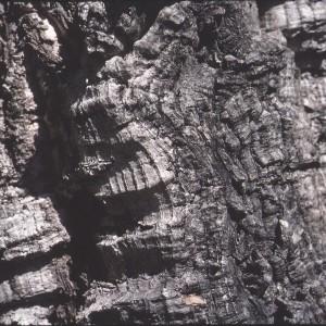 Photographie n°2347158 du taxon Quercus suber L. [1753]