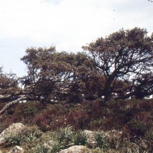 Photographie n°2347159 du taxon Quercus suber L. [1753]