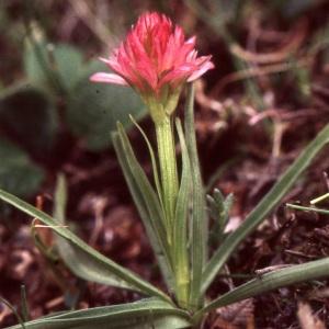 Photographie n°2347233 du taxon Nigritella rubra Richt. [1890]