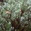 Liliane Roubaudi - Salix lapponum L. [1753]