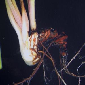 Photographie n°2347260 du taxon Persicaria bistorta (L.) Samp.