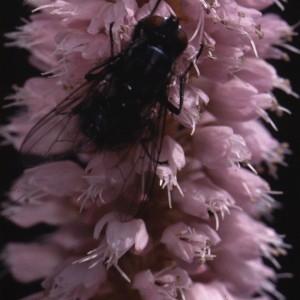 Photographie n°2347261 du taxon Persicaria bistorta (L.) Samp.