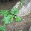 Acanthus mollis subsp. platyphyllus Murb. [nn131158] par Patrick Leboulenger le 03/03/2019 - Metline