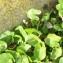 Arisarum vulgare O.Targ.Tozz. [nn156172] par Patrick Leboulenger le 03/03/2019 - Metline