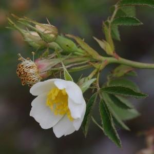 Photographie n°2347371 du taxon Rosa agrestis Savi