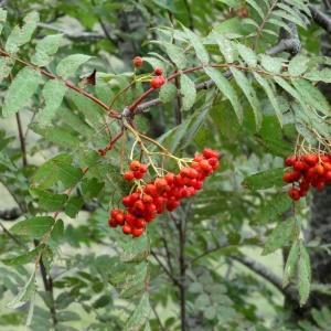 - Sorbus aucuparia subsp. aucuparia