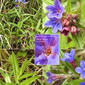 - Buglossoides purpurocaerulea (L.) I.M.Johnst. [1954]