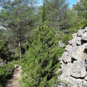 - Juniperus phoenicea L. [1753]