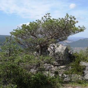 - Pinus sylvestris L. [1753]