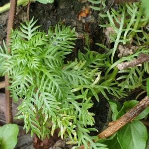 Photographie n°2348302 du taxon Hottonia palustris L. [1753]
