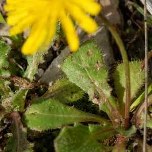Photographie n°2348477 du taxon Crepis sancta (L.) Bornm. [1913]