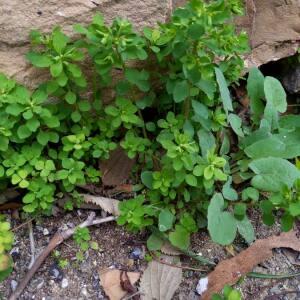 Photographie n°2348618 du taxon Euphorbia peplus L. [1753]