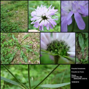 - Knautia basaltica var. foreziensis (Chassagne & Szabó) Breton-Sintès