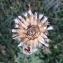 Centaurea paniculata L. [1753] [nn15345] par Alain Bigou le 29/08/2019 - La Malène