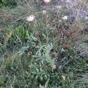 Photographie n°2349310 du taxon Centaurea paniculata L. [1753]