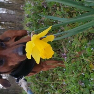 Photographie n°2349504 du taxon Narcissus pseudonarcissus L. [1753]