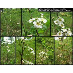 Spiraea hypericifolia L. (Spirée à feuilles de millepertuis)