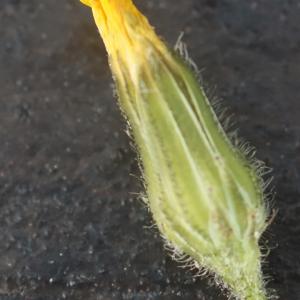 Photographie n°2349560 du taxon Crepis sancta (L.) Bornm. [1913]