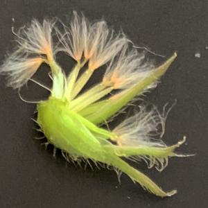 Photographie n°2349567 du taxon Crepis sancta (L.) Bornm. [1913]
