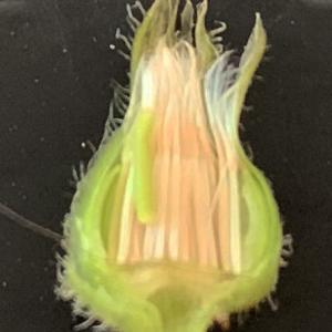 Photographie n°2349568 du taxon Crepis sancta (L.) Bornm. [1913]