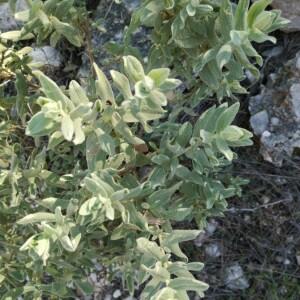 Photographie n°2349578 du taxon Cistus albidus L. [1753]