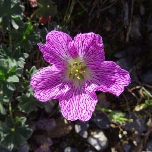 Photographie n°2349675 du taxon Geranium cinereum Cav. [1787]