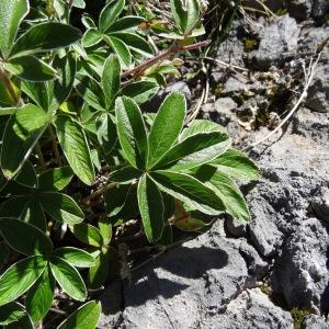 Photographie n°2349712 du taxon Potentilla alchemilloides Lapeyr. [1782]