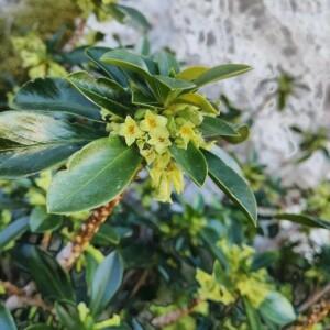 Photographie n°2349781 du taxon Daphne laureola L. [1753]