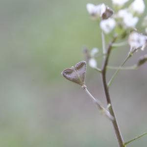 Photographie n°2349792 du taxon Capsella bursa-pastoris (L.) Medik. [1792]