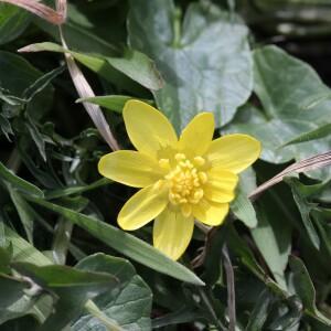 Photographie n°2350020 du taxon Ficaria verna subsp. verna