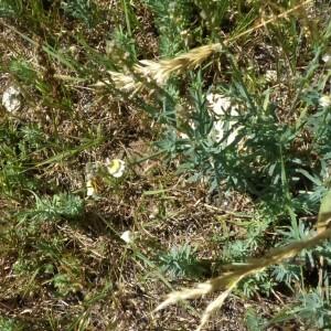 Photographie n°2350036 du taxon Linaria supina subsp. pyrenaica (DC.) Nyman [1881]