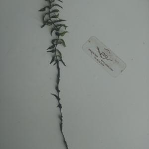 - Hydrocharitaceae