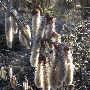 Populus tremula L. (Peuplier tremble)