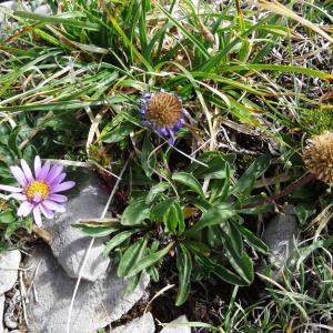 Photographie n°2350568 du taxon Aster alpinus var. alpinus