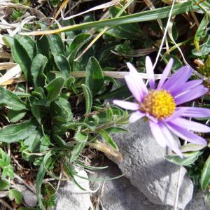 Photographie n°2350569 du taxon Aster alpinus var. alpinus