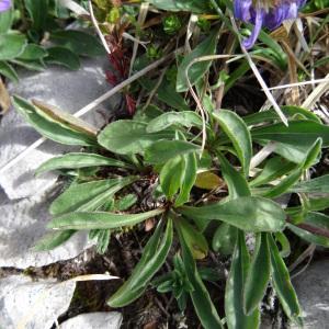 Photographie n°2350570 du taxon Aster alpinus var. alpinus