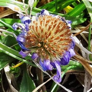 Photographie n°2350572 du taxon Aster alpinus var. alpinus