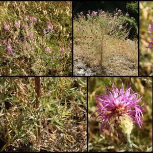 Photographie n°2350665 du taxon Centaurea stoebe L. [1753]