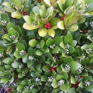 Photographie n°2350736 du taxon Skimmia japonica Thunb. [1783]