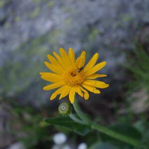 - Doronicum grandiflorum Lam. [1786]