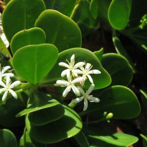 Erithalis fruticosa L. (Bwa chandèl)