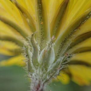 Photographie n°2351471 du taxon Crepis sancta (L.) Bornm. [1913]