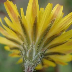 Photographie n°2351474 du taxon Crepis sancta (L.) Bornm. [1913]